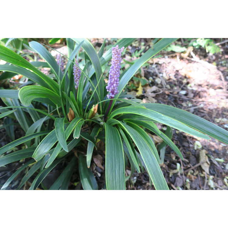 Liriope muscari 'Gold Band' - variegated lilyturf