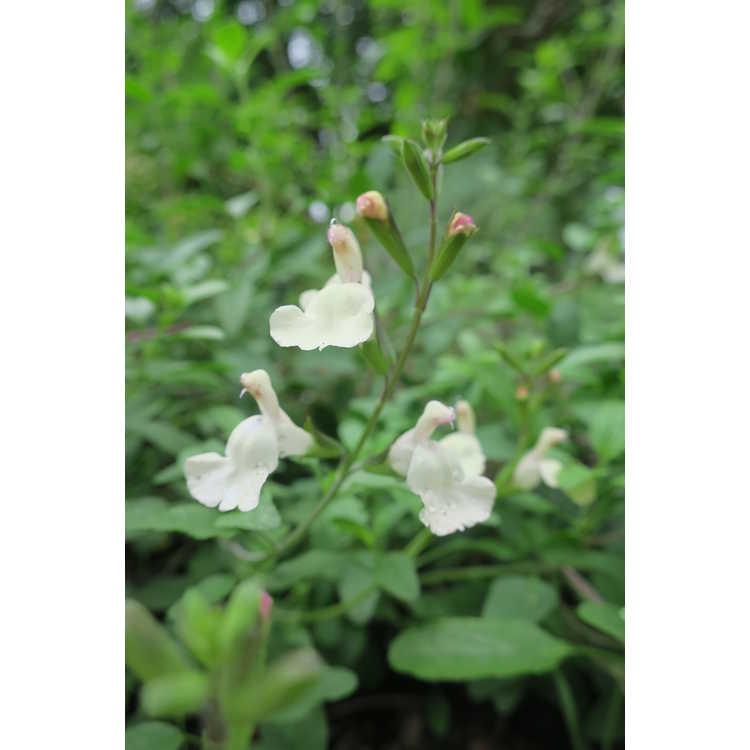 Salvia Eggben003 Heatwave Glimmer