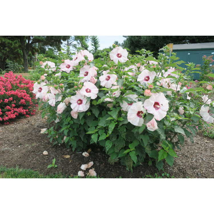 Hibiscus 'Cherry Cheesecake' - Summerific rose mallow