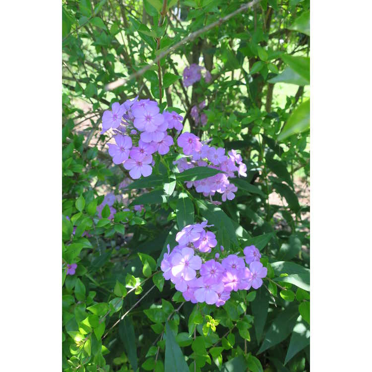Phlox paniculata Davids Lavender