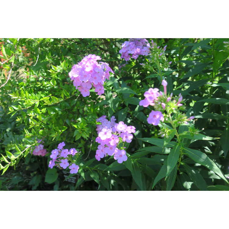 Phlox paniculata 'David's Lavender' - Garden Phlox