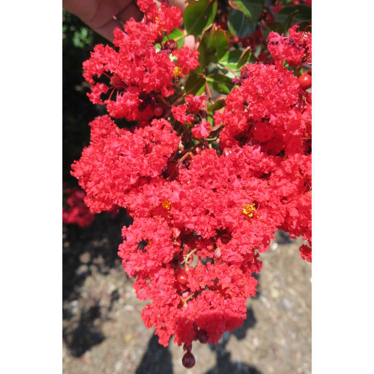 Lagerstroemia Piilag-III Red Rooster, Enduring Summer Fuchsia