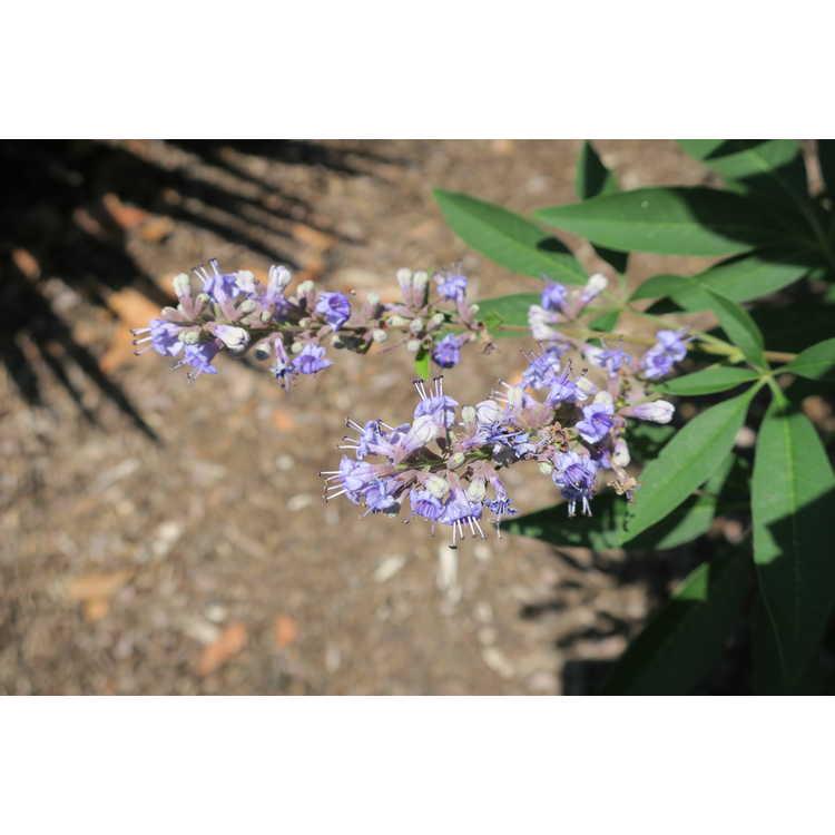 Vitex agnus-castus Smvacbd Blue Diddley