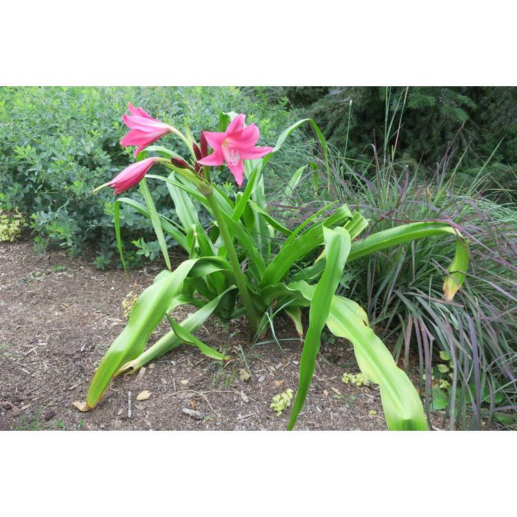 Crinum americanum × C. mooreii (Mrs. Hannibal's Form)