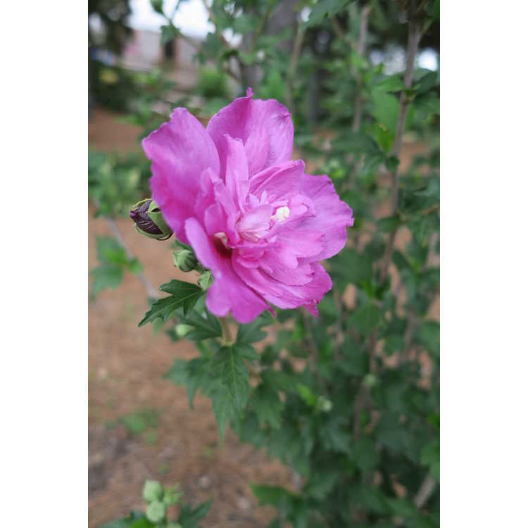Hibiscus syriacus 'Ds03rs' - Raspberry Smoothie rose-of-Sharon