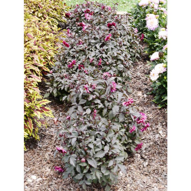 Dahlia pinnata G14402dahl Dahlightful Crushed Crimson