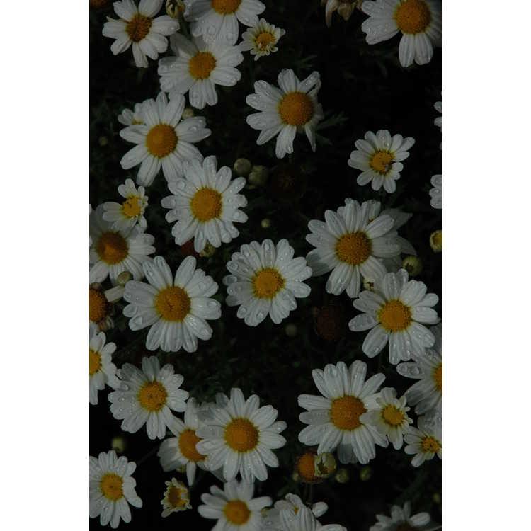 Argyranthemum frutescens G14420 Pure White Butterfly