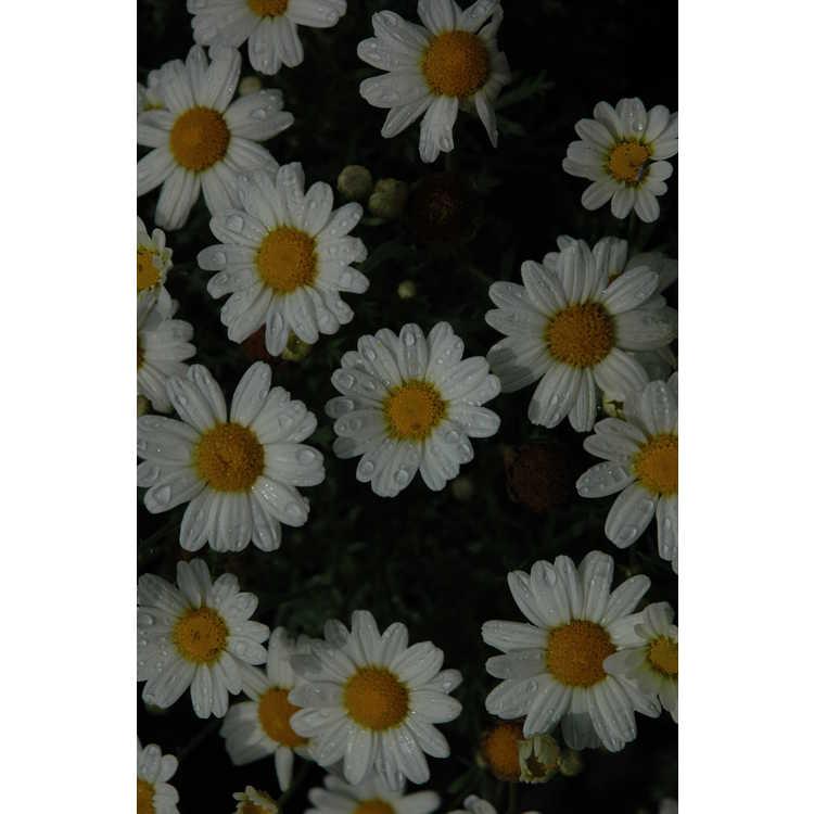 Argyranthemum frutescens 'G14420'