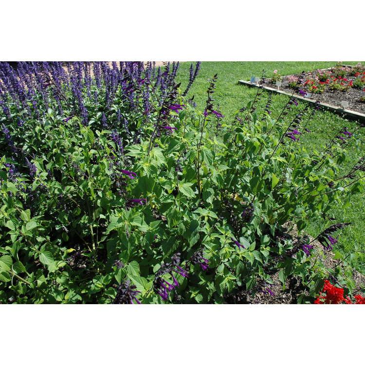 Salvia Bbsal09001 Rockin Deep Purple