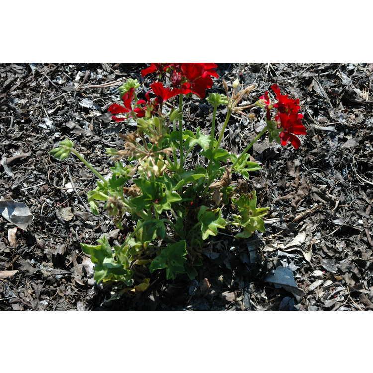 Pelargonium Kleip13342 Marcada Dark Red