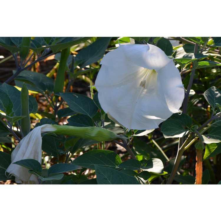 Datura wrightii - sacred thorn apple