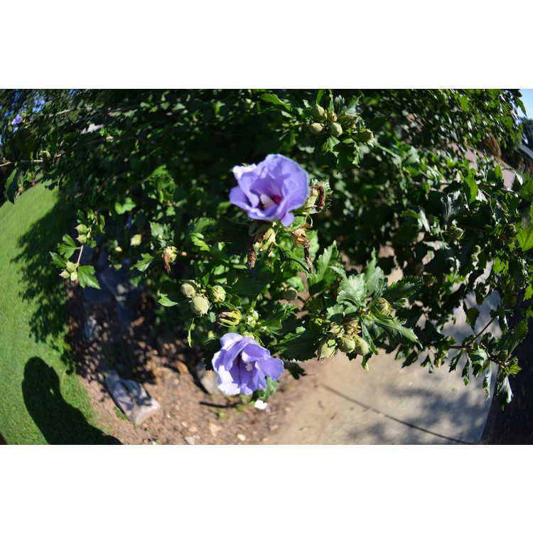 Hibiscus syriacus - rose-of-Sharon