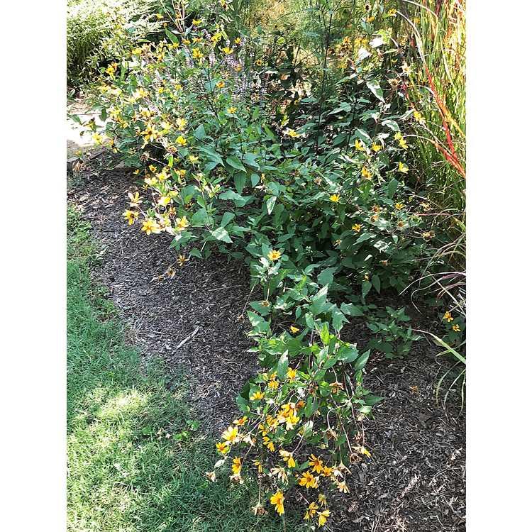 Heliopsis helianthoides 'Prairie Sunset' - false sunflower
