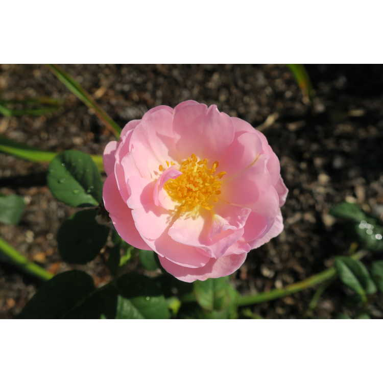 Rosa 'Ausland' - Scepter'd Isle shrub rose