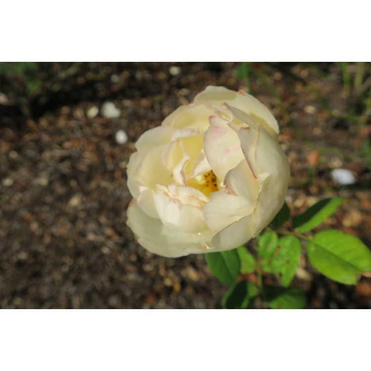 Rosa 'Ausblanket' - Wollerton Old Hall shrub rose