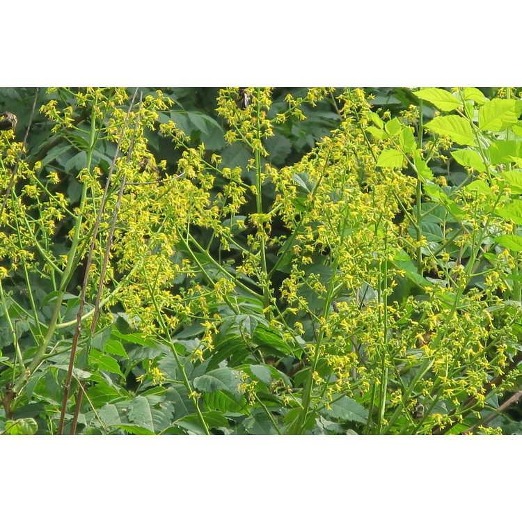Koelreuteria paniculata 'Rose Lantern' - late-flowering goldenrain tree