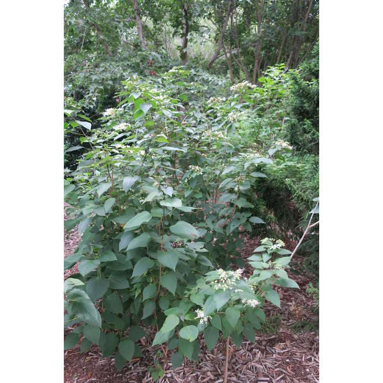 Clerodendrum trichotomum fargesii