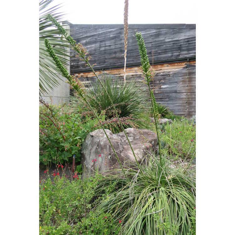Agave striata - needle agave