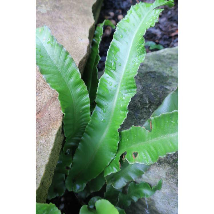 Asplenium scolopendrium 'Undulatum'