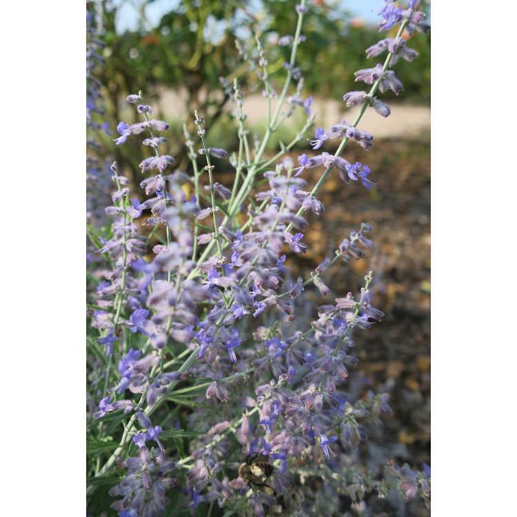 Lavandula ×intermedia 'Phenomenal' - lavender