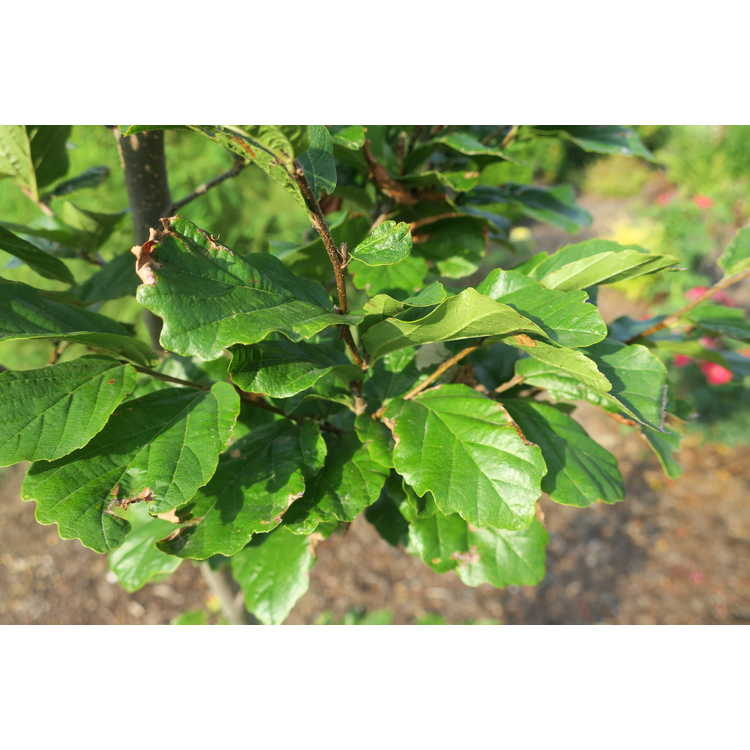 Parrotia persica 'Chrishaven1'