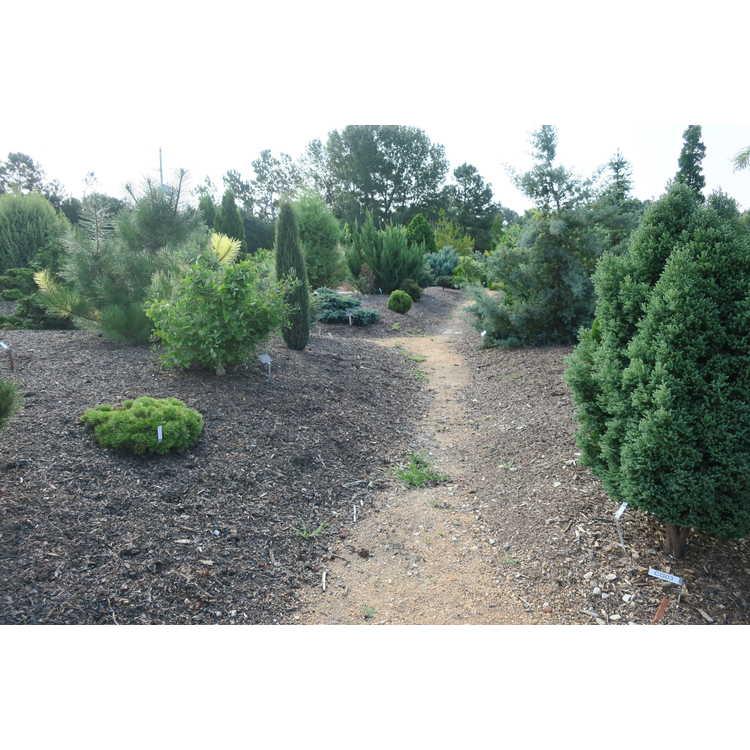 Conifer Garden