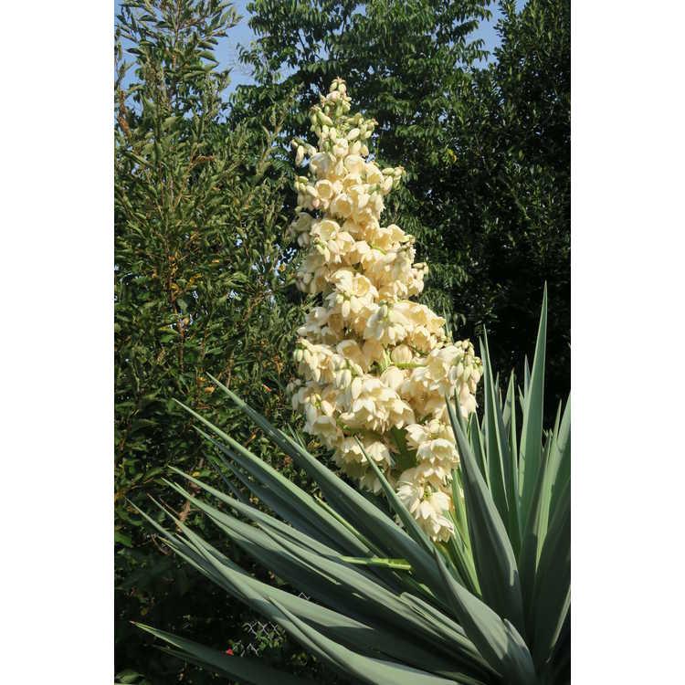 Yucca schottii