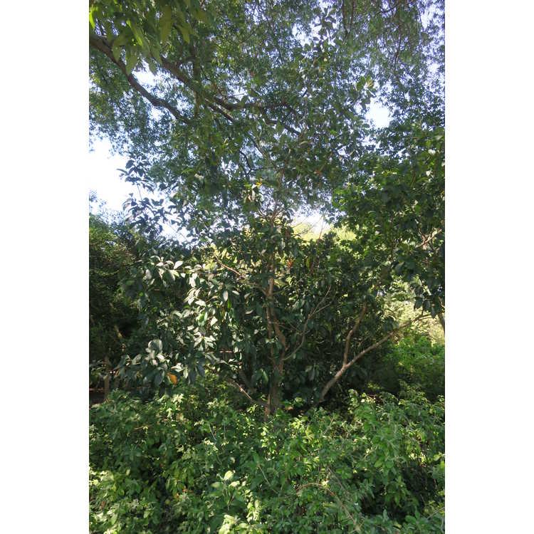 Magnolia ×foggii 'Picotee'