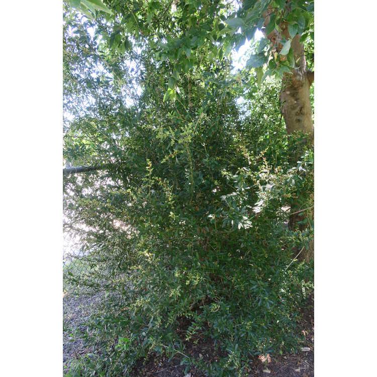 Ligustrum strongylophyllum