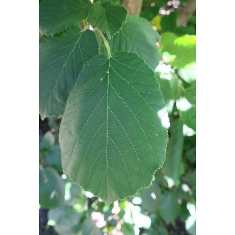 Corylus avellana 'Aurea' - golden hazelnut