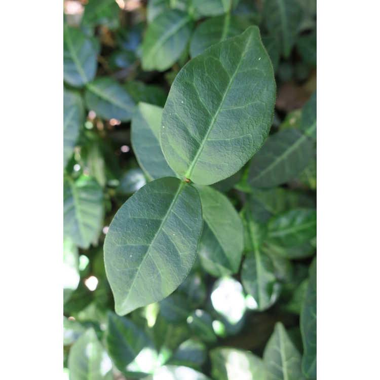 Trachelospermum asiaticum 'Red Top'