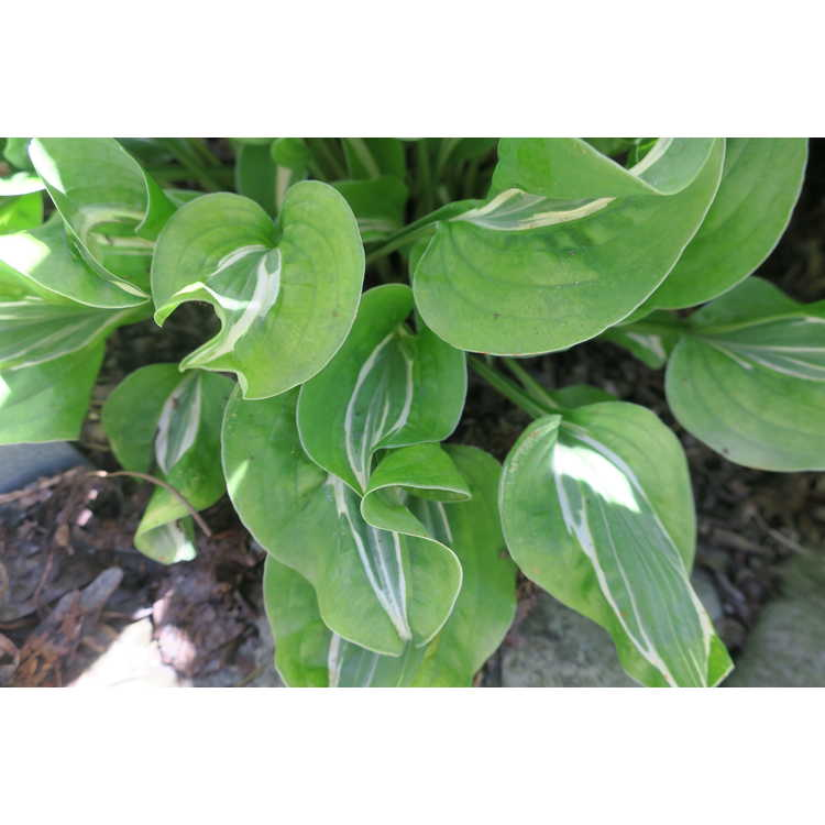 Hosta 'Royal Tiara'