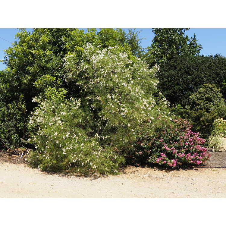 Chilopsis linearis 'Angel White' - desert willow