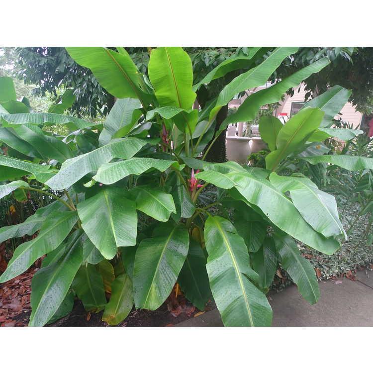 Musa velutina - pink velvet banana