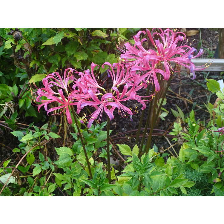 Lycoris ×rosea - rosy surprise-lily