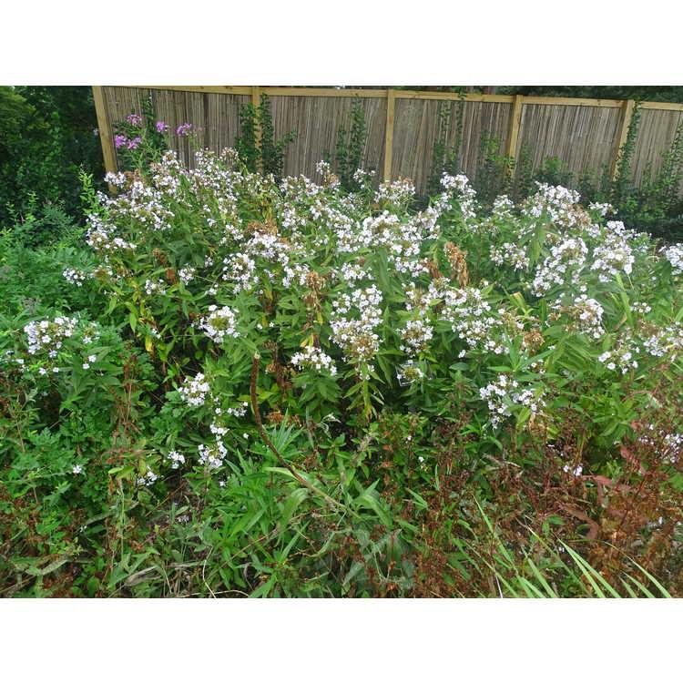 Phlox paniculata 'Delta Snow' - garden phlox