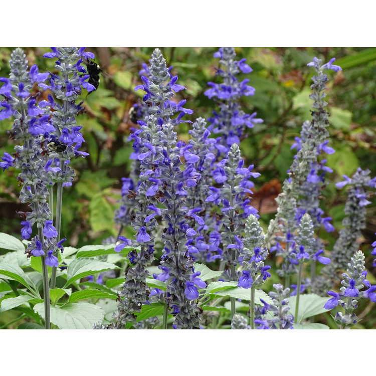 Salvia nemorosa 'Caradonna' - European wood sage