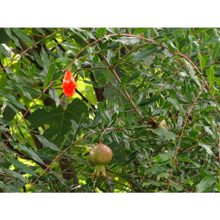 Punica granatum 'State Fair' - dwarf pomegranate