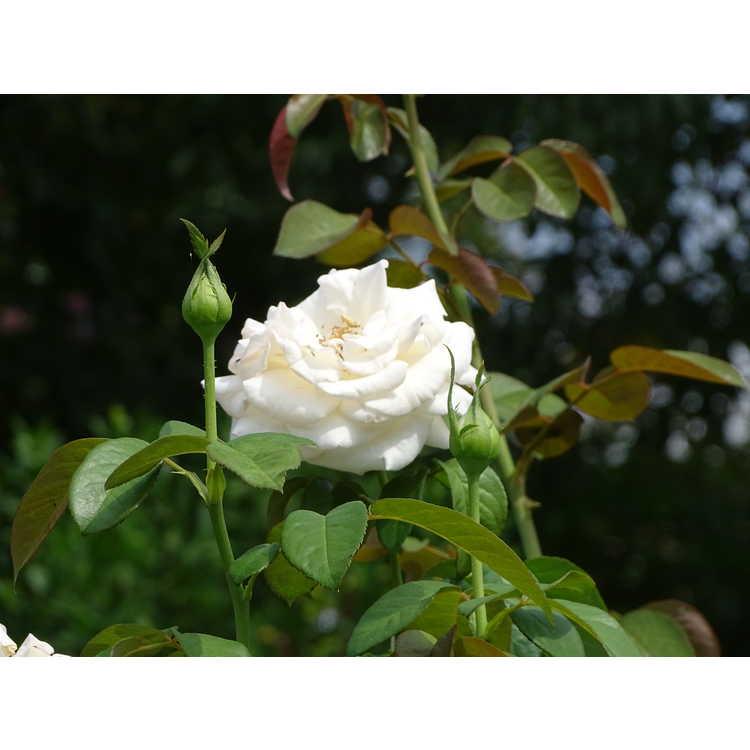 Rosa 'Meitroni' - Frances Meilland tea rose