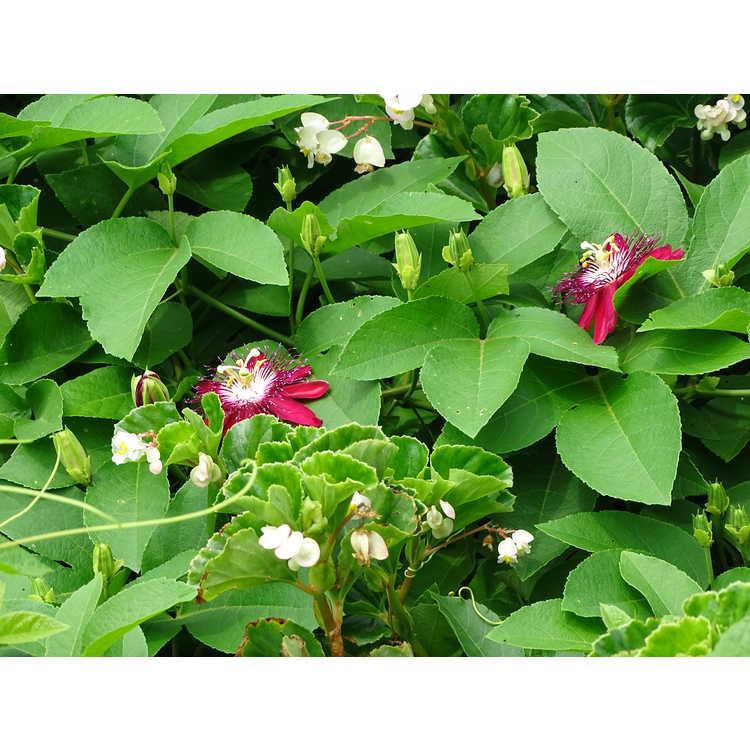 Begonia Semperflorens-cultorum Barbara Rogers