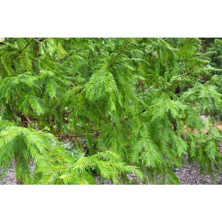 Torreya taxifolia - Florida torreya