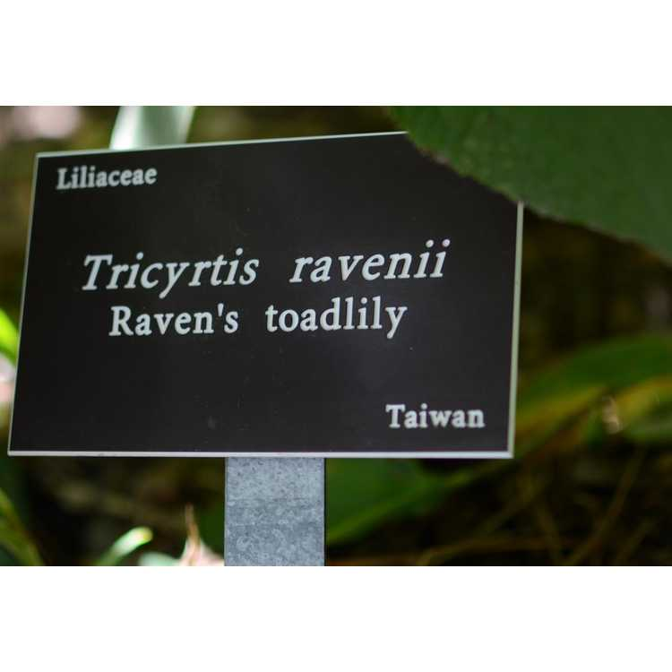 Tricyrtis ravenii - Raven's toad lily