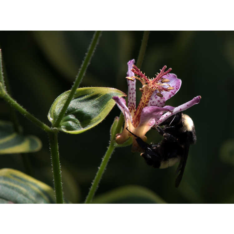 Tricyrtis formosana 'Autumn Glow' - variegated toad lily
