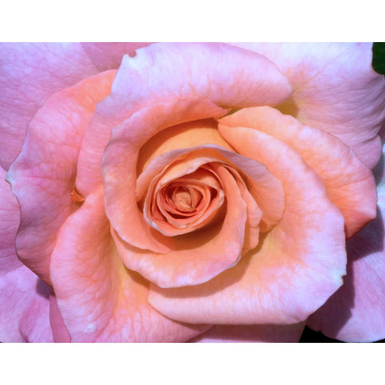 Rosa Frycentury Day Breaker