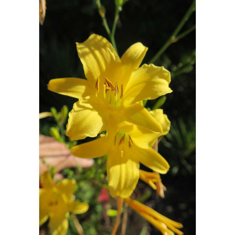 Hemerocallis 'Autumn Prince' - daylily