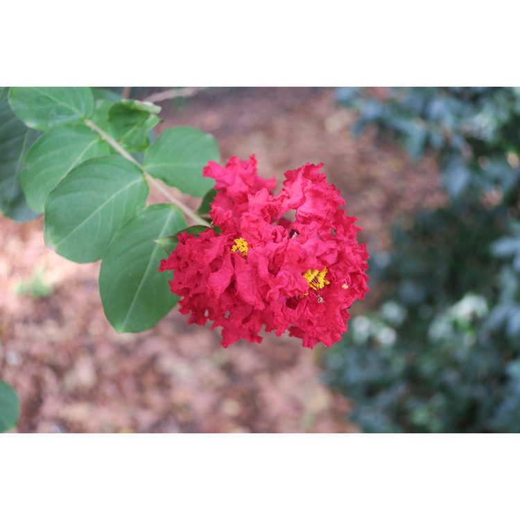 Lagerstroemia indica 'Whit II' - Dynamite crepe myrtle