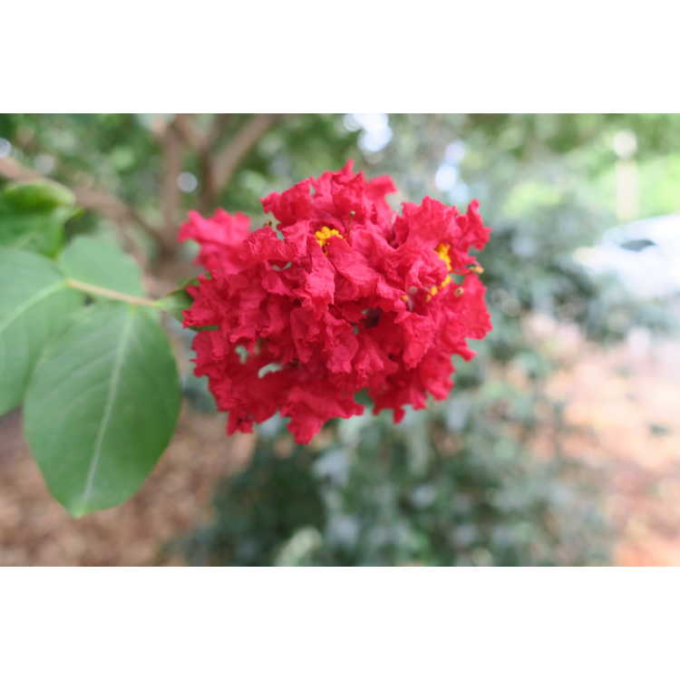 Lagerstroemia indica Whit II Dynamite