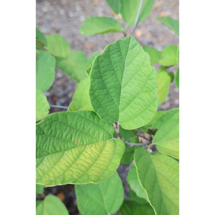 Fothergilla gardenii 'Chattanooga' - dwarf fothergilla