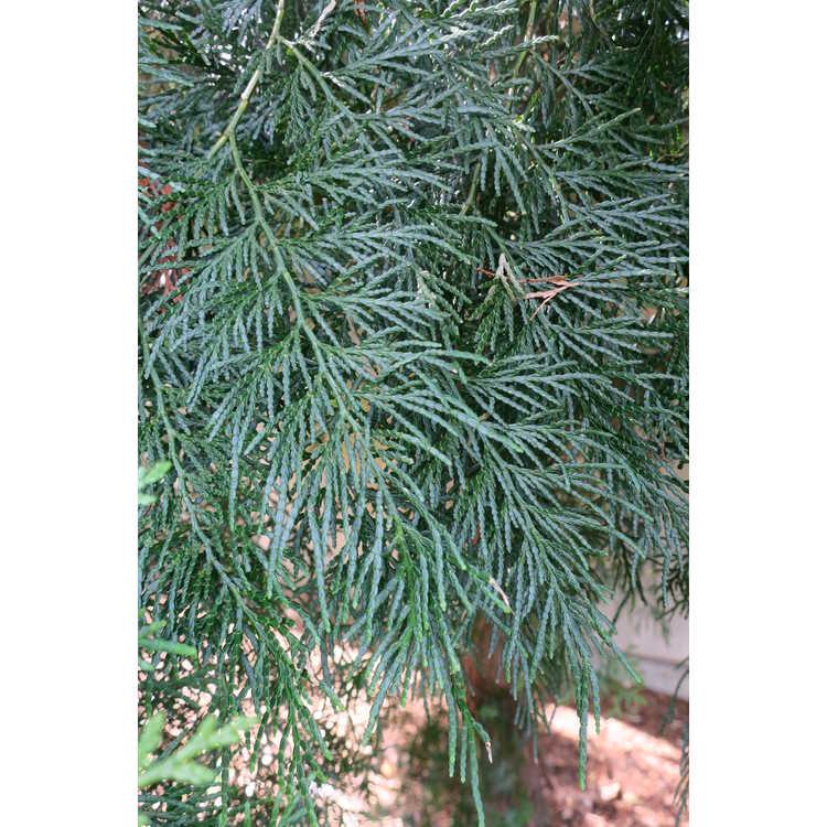 Calocedrus formosana