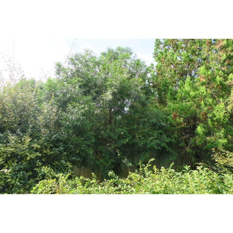 Calocedrus formosana - Formosan incense-cedar